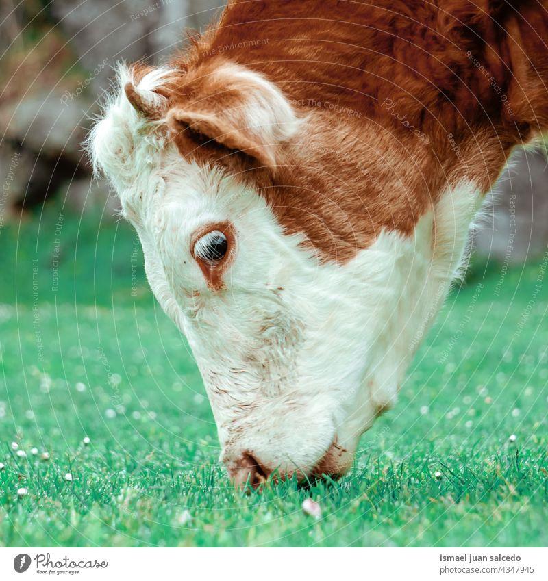 Braunes und weißes Kalb beim Grasen Wade Kuh braun Braune Kuh Hörner Porträt Tier Weide Weidenutzung wild Kopf Tierwelt Natur niedlich Schönheit wildes Leben