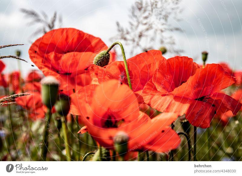 wild und rot blüht er. perfekt für den ersten tag.  der sich mo(h)ntag nennt. blühen Duft Blüte Natur Feld Himmel duftend Blütenblatt Wolken grün Pollen