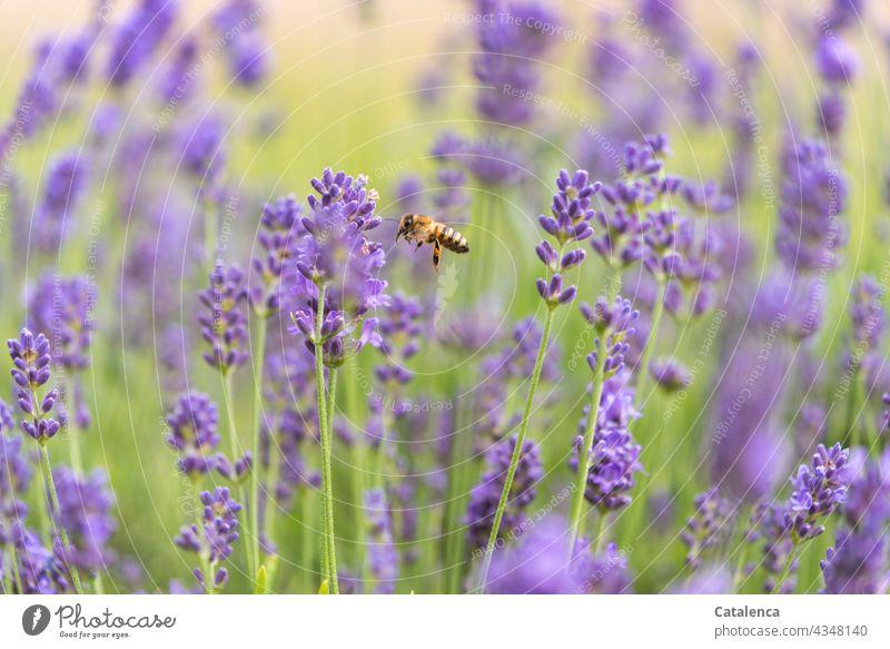 Die Biene im Lavendelbeet Natur Fauna Flora Pflanze Tier Insekt Honigbiene fliegen Pollen Bienenstock fleißig Außenaufnahme emsig Arbeit & Erwerbstätigkeit