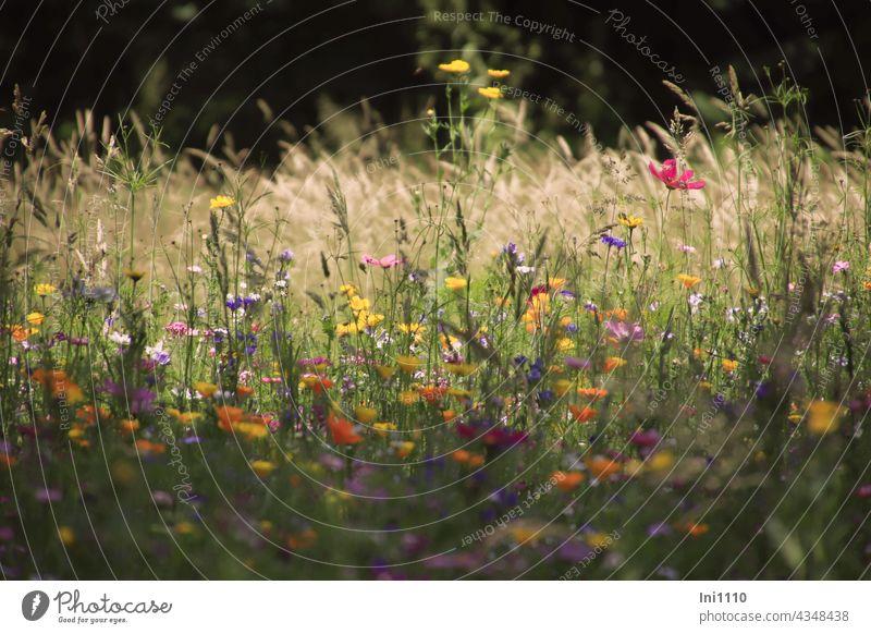 Blick aus dem Schatten in eine bunte Blumenwiese Sommer Bunte Sommerwiese Licht Gräser Blumenmischung Vielfalt farbig dunkler Hintergrund Seele baumeln lassen