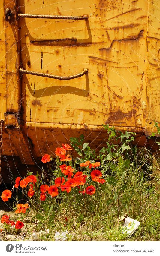 roter Klatschmohn vor einem orangefarbenen Container / Mohntag / Natur und Technik Klatschmohnblüten roter Mohn Mohnblüte Blume Wiese Sommer Mulde Recycling
