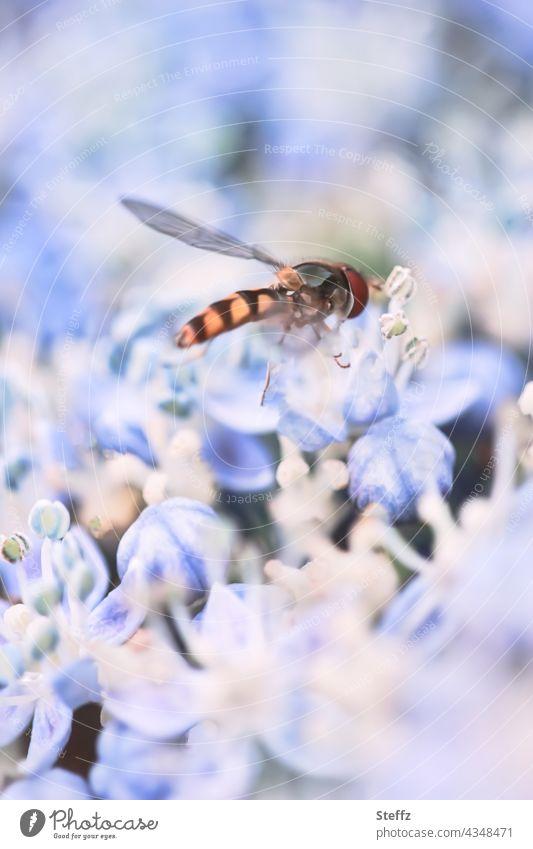 Schwebfliege auf einer Hortensienblüte Syrphidae Stehfliege Schwirrfliege Brachycera Bestäuber Bestäubung bestäuben Fliege Insekt Leichtigkeit Pollen fressen