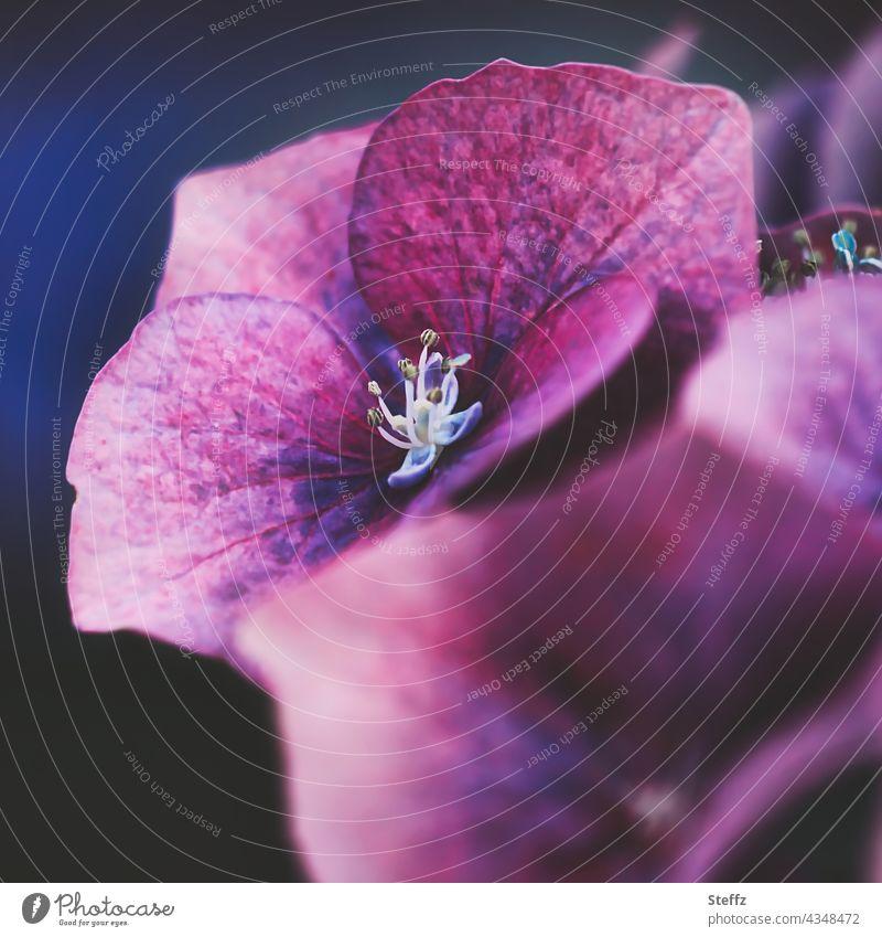 Hortensienblüte Tellerhortensie Gesägte Hortensie Hydrangea serrata Japanische Berghortensie blühende Hortensie Hortensienblüten violette Blüten lila Blüten