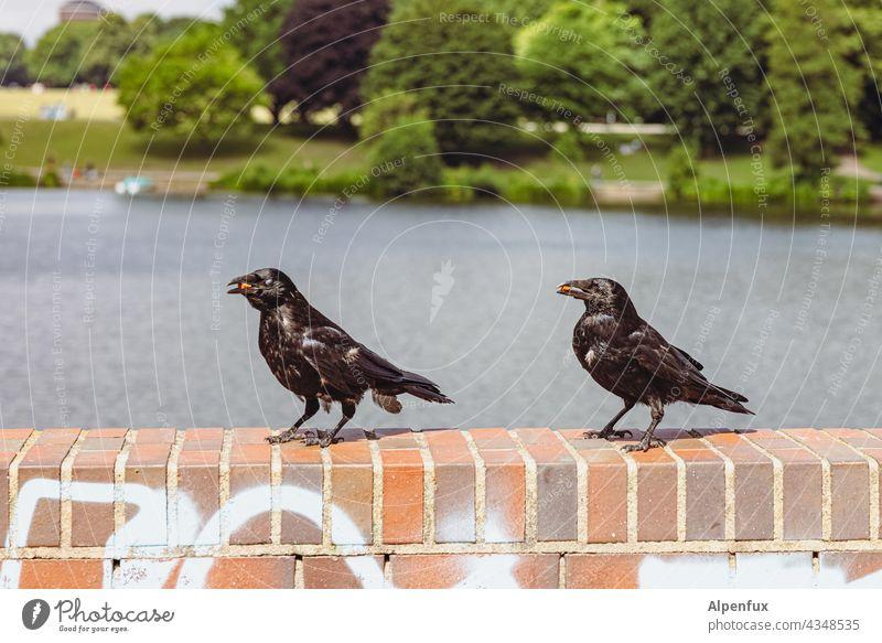 Snacktime | Parktour HH21 Krähe Rabenvögel Vogel schwarz Tier Wildtier Farbfoto Außenaufnahme Fressen Mauer See Tierporträt Menschenleer Natur fliegen Feder