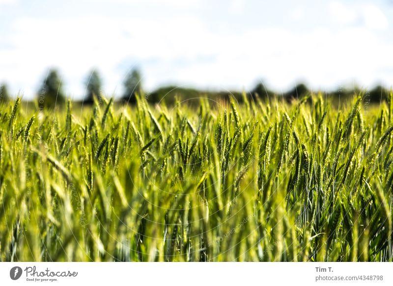 ein grünes Kornfeld Feld Brandenburg Landschaft Himmel Außenaufnahme Menschenleer Farbfoto Tag Natur Umwelt Pflanze Textfreiraum oben Schönes Wetter Horizont