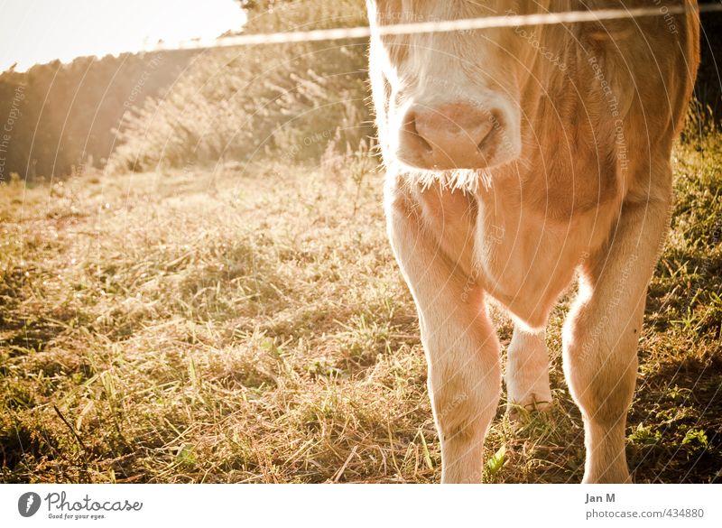 Kuh auf der Weide Natur Sommer ruhig Tier Umwelt Wiese Gras Stimmung braun stehen Schönes Wetter beobachten Neugier Frieden Vertrauen Gelassenheit