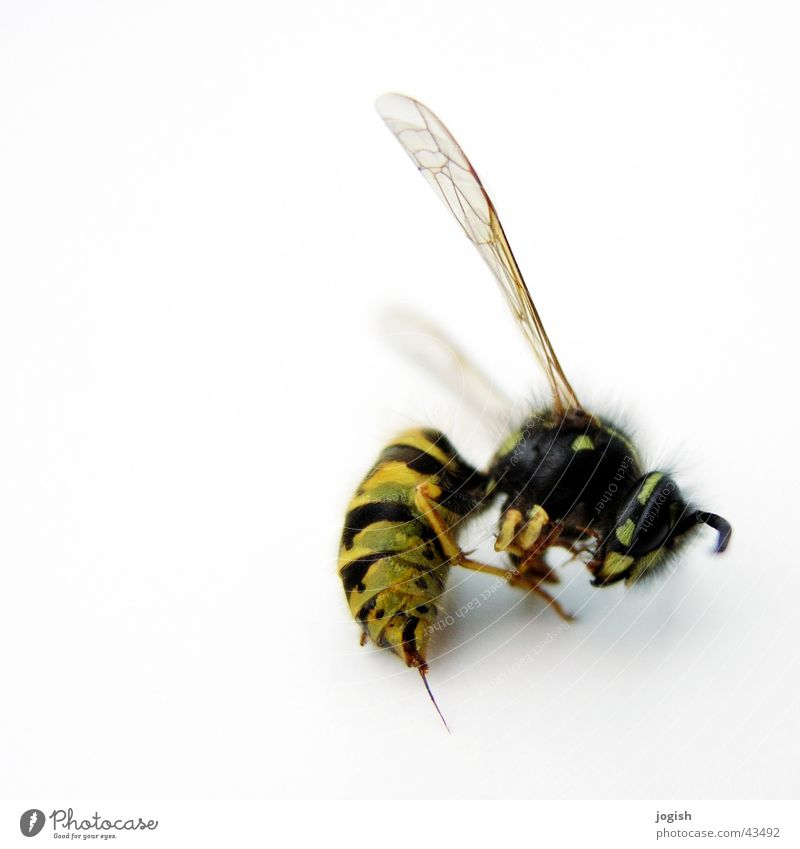 Wespe fliegen Flügel Insekt Dieb Stachel Wespen Beule