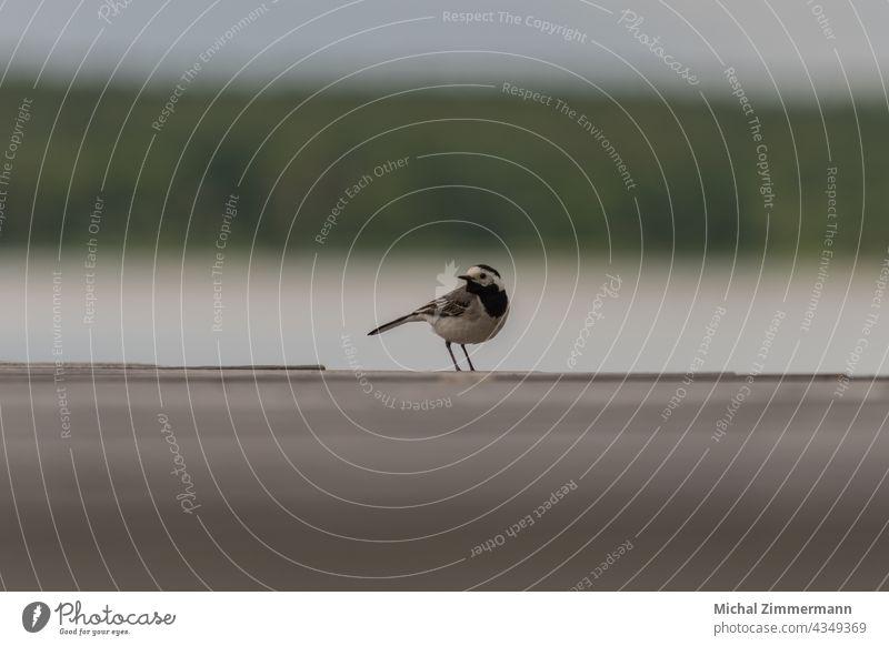 Vogel am See Steg Wasser Holz Holzbrett Farbfoto Sommer Tag Himmel Außenaufnahme Menschenleer Textfreiraum oben Umwelt Seeufer Natur Gedeckte Farben