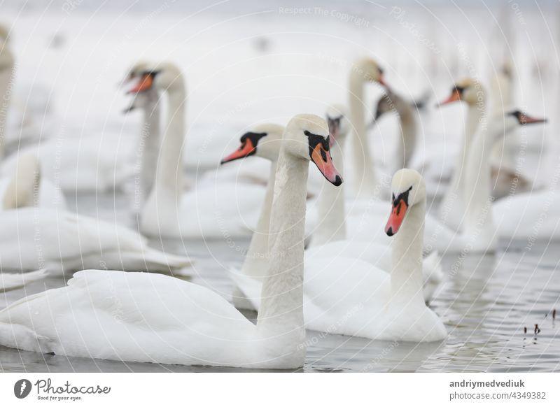 Weißer Schwanenschwarm im Quellwasser. Schwäne im Wasser. Weiße Schwäne. Schöne weiße Schwäne schwimmen auf dem Wasser. Schwäne auf der Suche nach Nahrung. selektiver Fokus