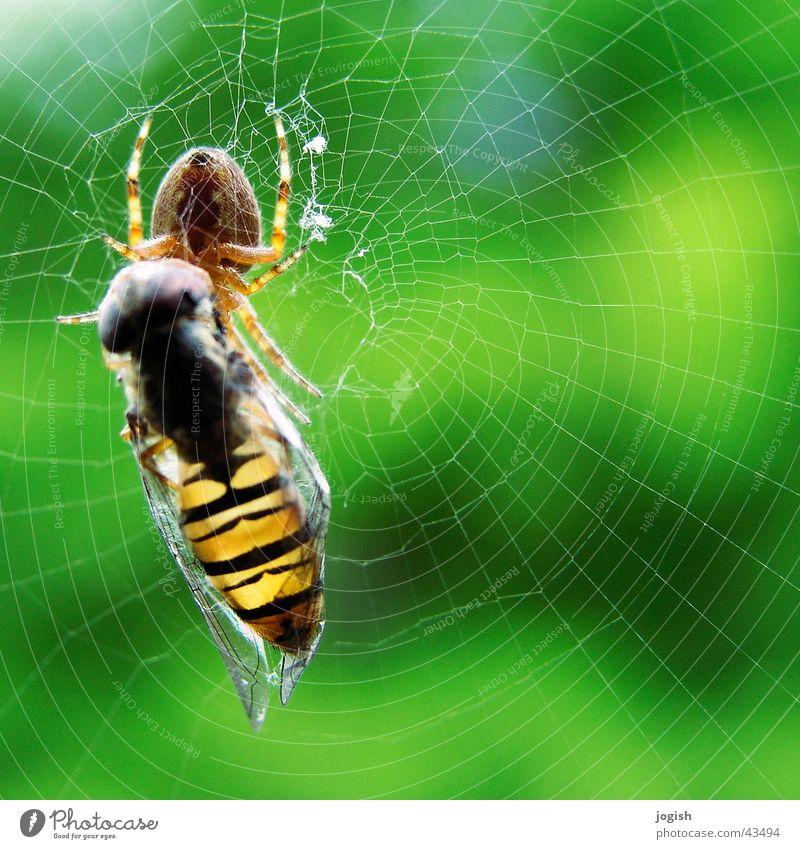 Gefangen im Netz Netz gefangen Spinne Dieb Futter Insekt Schwebfliege