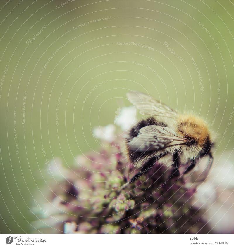 Natur grün Sommer Tier Wärme Blüte natürlich Garten Aktion Flügel Biene Tierliebe purpur Naturliebe