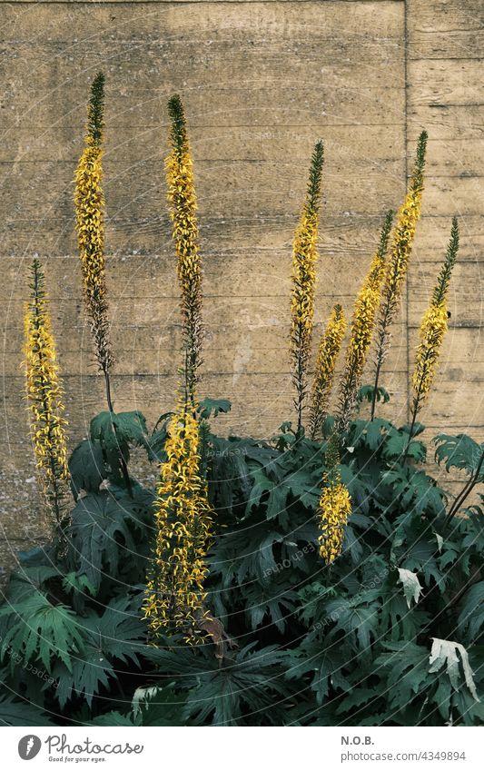 Pflanzen(kerzen) vor einer Wand Kerzen Blüte blüten Blühend Blütenstände Mauer gelb grün Menschenleer Blume Natur Sommer Farbfoto Außenaufnahme