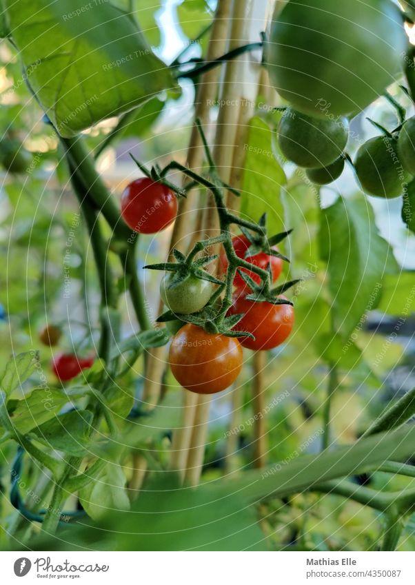 Kleine Cocktailtomaten mitten in der Tomatenpflanze reif Gemüse Garten Lebensmittel Frucht natürlich saftig grün Gartenarbeit lecker Diät frisch Essen hängen