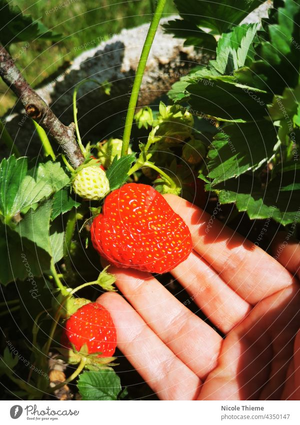 Rote Erdbeere im Garten pflücken - Ernte Erdbeeren Erdbeeren pflücken erdbeere Erdbeerernte ernten Erdbeerzeit rote Beeren gartenanbau ökologisch fruchtig