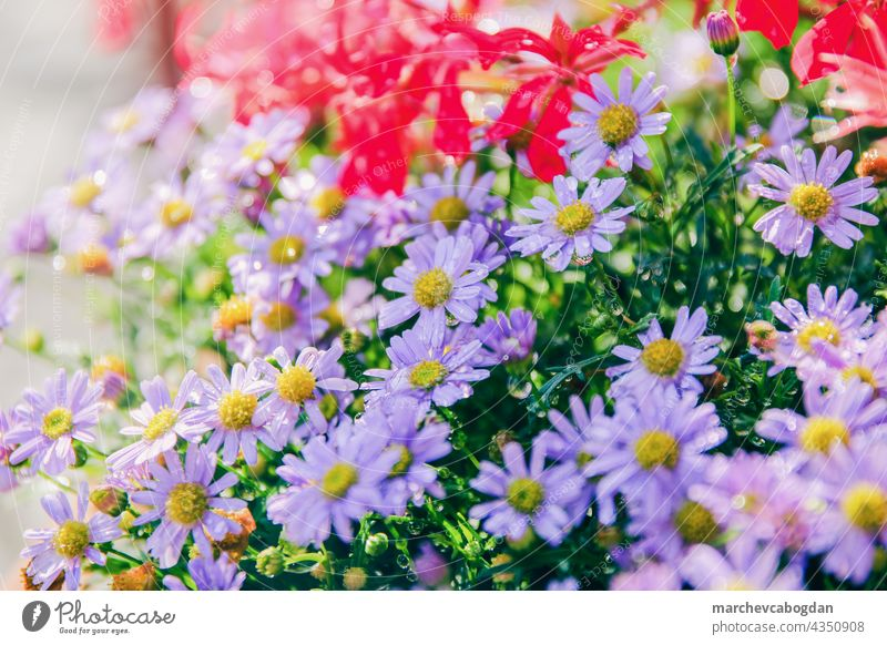 bunte Frühlingsblume im Garten nach dem Regen Blume blau Natur Sommer Pflanze Flora Blütezeit purpur geblümt grün Blütenblatt im Freien Farbe Gartenarbeit Blatt