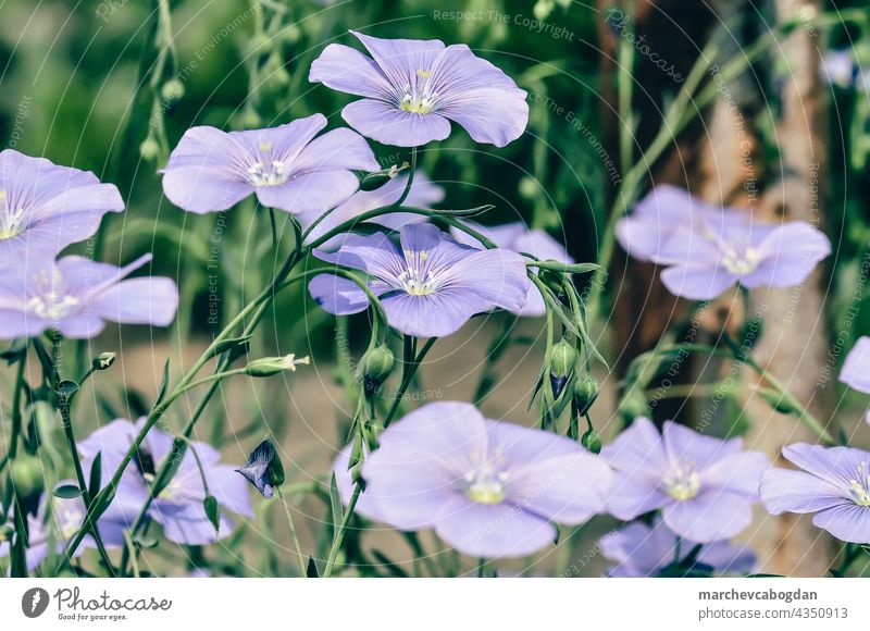 blaue Petunie Blumen im Garten Natur Sommer Pflanze Flora Blütezeit purpur geblümt grün Blütenblatt im Freien Frühling Farbe Gartenarbeit Blatt Botanik frisch