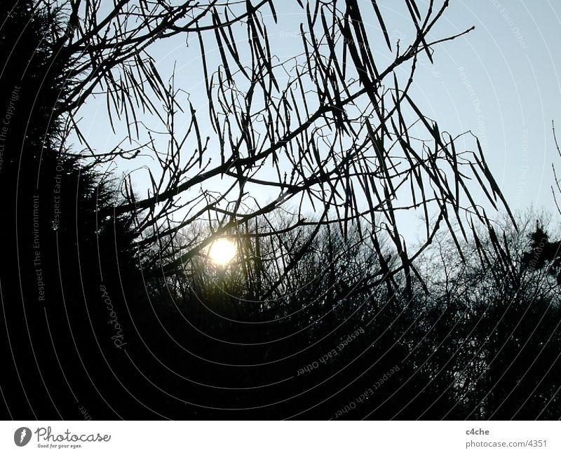 TrompetenBaum Natur Baum Sonne Pflanze Blatt