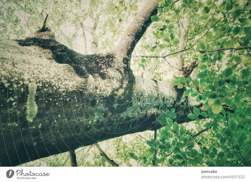 stammbaum stark Baum Wald Baumstamm Umwelt Laubbaum Blatt Stammbaum Baumkrone Baumrinde Zweig grün Blätterdach Ast Froschperspektive