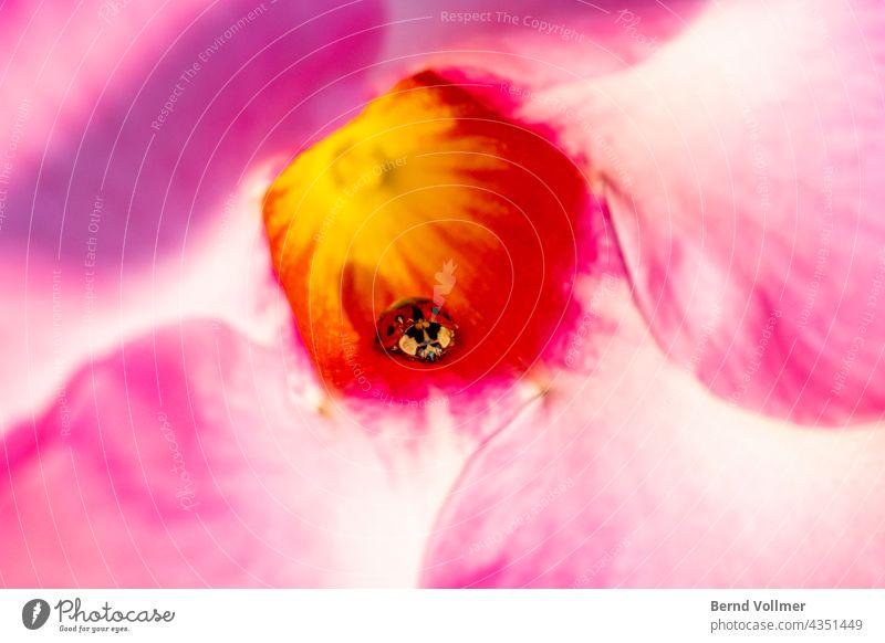 Marienkäfer in pinker Blume Pink Rosa Glücksbringer Pflanze Insekt Sommer rot Tier grün Natur Käfer