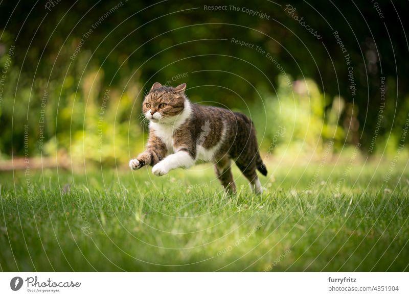 Katze läuft auf grünem Rasen im Freien im Hinterhof Natur Haustiere fluffig Fell katzenhaft britische Kurzhaarkatze Tabby weiß Ein Tier Wiese Gras Garten
