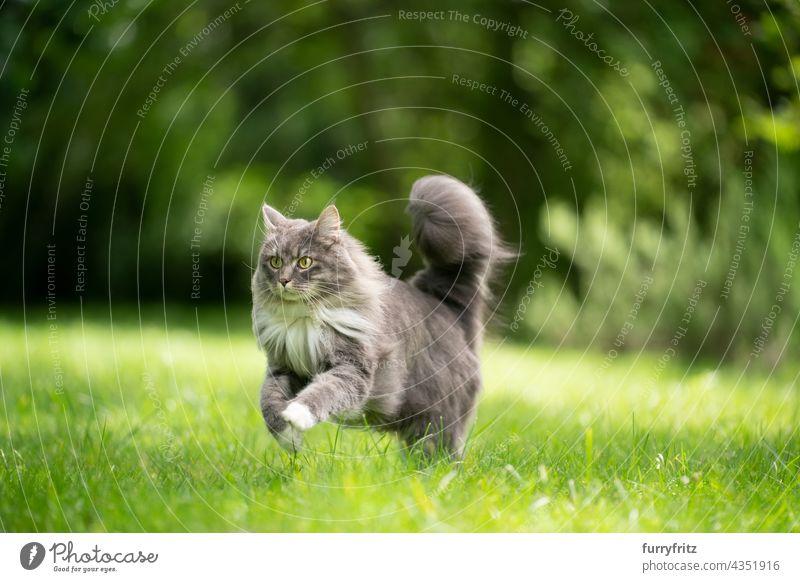 Katze mit flauschigem Schwanz läuft auf grünem Rasen im Freien Natur Haustiere fluffig Fell katzenhaft maine coon katze weiß blau grau Langhaarige Katze
