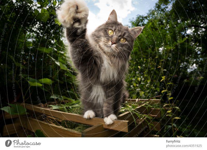 verspielte Katze im Freien, die nach der Kamera greift Natur grün Haustiere fluffig Fell katzenhaft maine coon katze weiß blau grau Langhaarige Katze Ein Tier