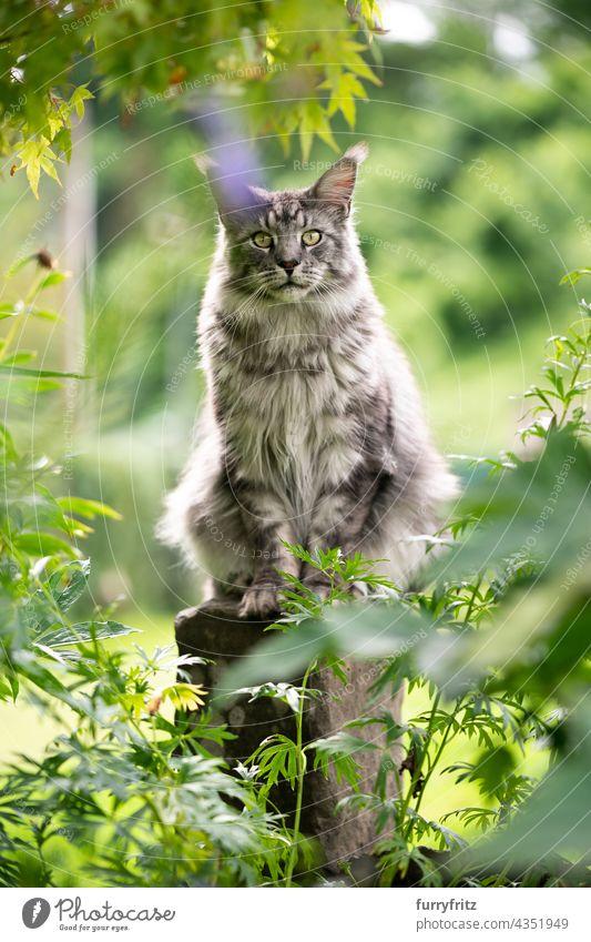 Waschbärkatze auf Steinsäule im Freien im Garten sitzend Katze Natur grün Rassekatze Haustiere fluffig Fell katzenhaft maine coon katze silber gestromt grau