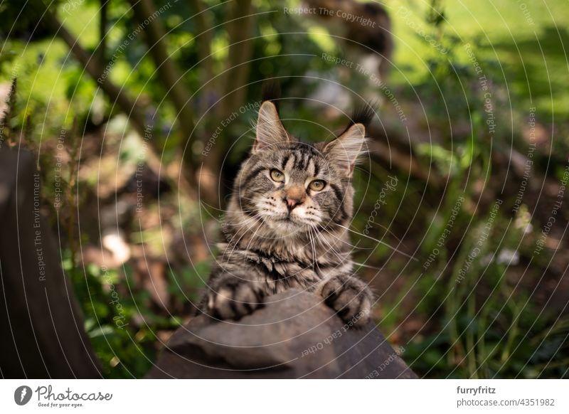 verspielte getigerte maine coon Katze, die sich auf einem Stein im Freien aufbäumt Natur grün Rassekatze Haustiere fluffig Fell katzenhaft maine coon katze