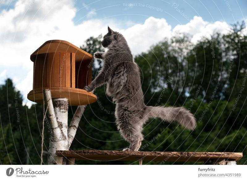 Neugierige graue Maine Coon Katze inspiziert neuen Kratzbaum im Freien Natur grün Rassekatze Haustiere fluffig Fell katzenhaft maine coon katze blau