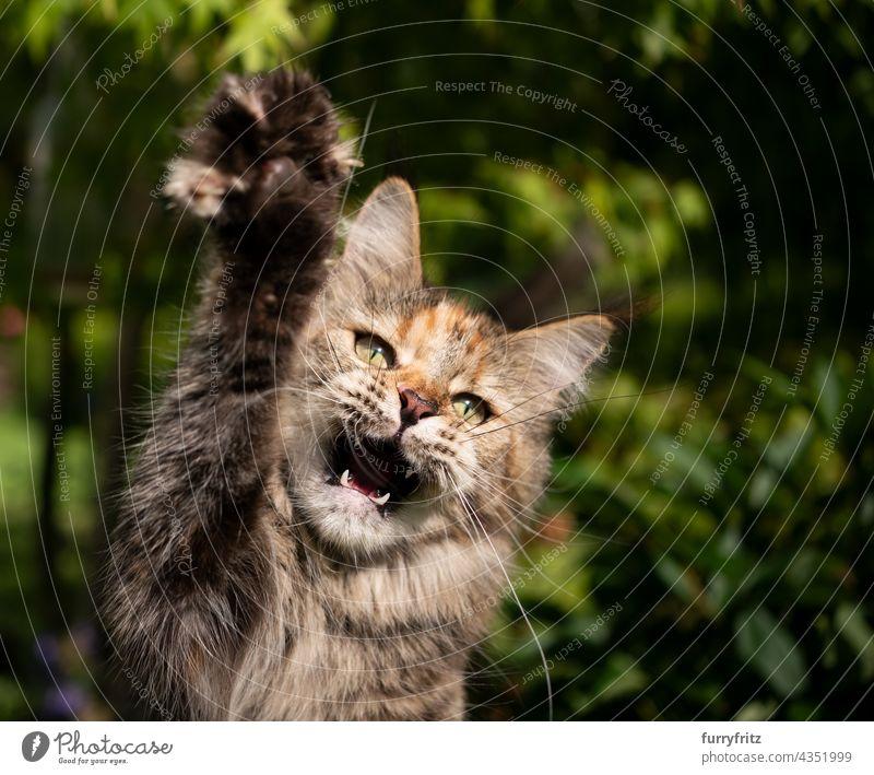 Kaliko Maine Waschbär Katze jagen Anheben der Pfote im Freien mit offenem Mund Natur grün Rassekatze Haustiere fluffig Fell katzenhaft maine coon katze