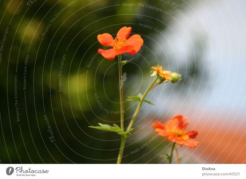 Blümchen und so... grün Pflanze Baum Blatt Haus Blüte orange Sträucher Schönes Wetter Dach Blühend Stengel verblüht Mai