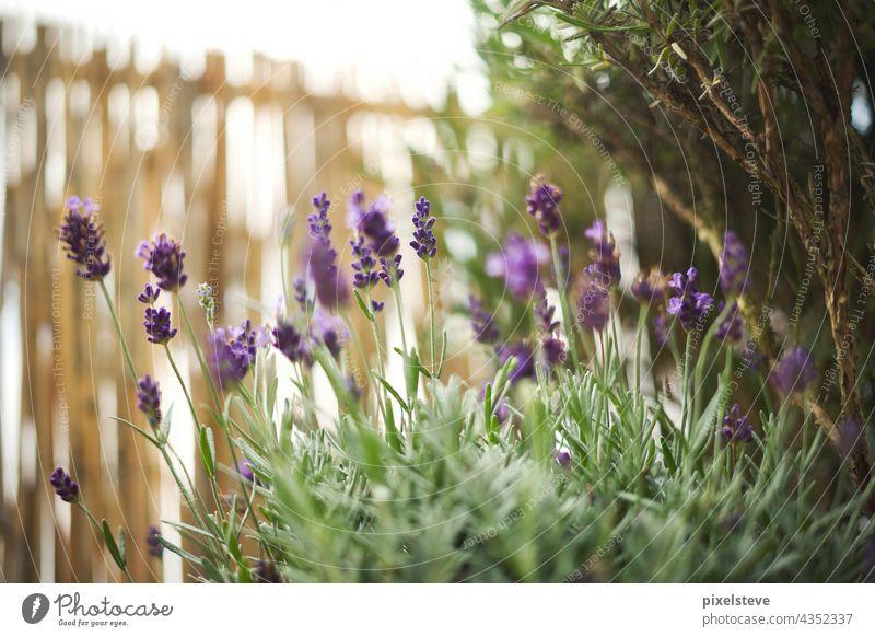 Frischer Lavendel in einem Garten sommer lila violett duft Lavendelfeld motten pflanze frühling blüte sonne wachsen Sommer Frühling pflanzen garten gärtnern
