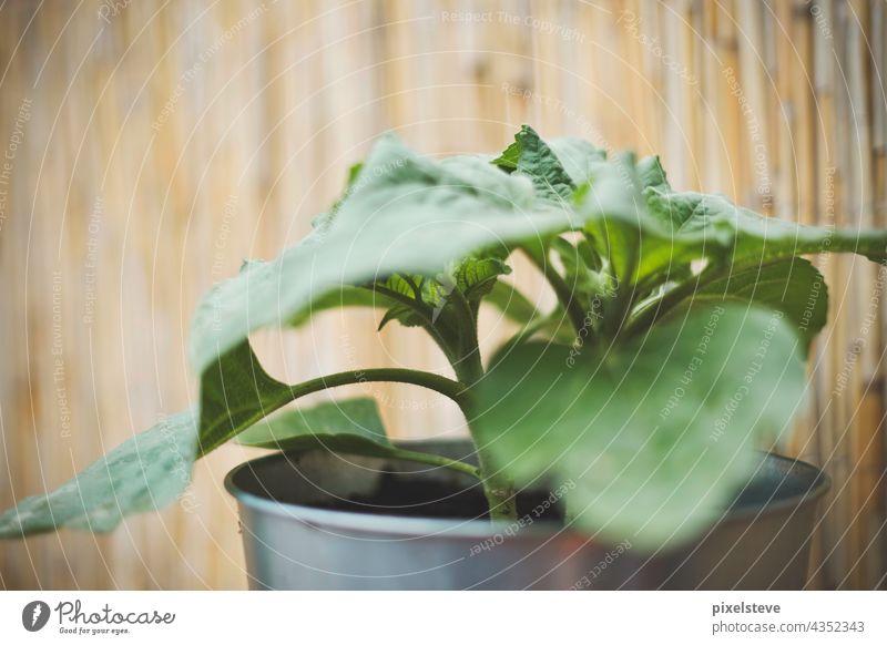Junge Sonnenblume in einem Pflanztopf aus Metall Sonneblume samen Balkonpflanze Topfpflanze sommer sonne licht wachsen Pflanze Garten Sonnenblumenkerne Erde