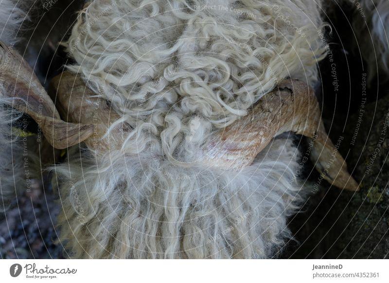Schaf, Nahaufnahme von Oben mit gewundenen Hörner Schafwolle Tier Säugetier wollschaf von oben Nutztier Bauernhof Natur Fell Wolle nachhaltig Landwirtschaft