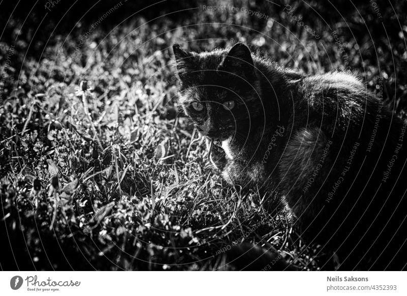 Katze mit Maus im Maul. Jagen, fangen für Nahrung. Schwarz und weiß. abstrakt Tier Kunst Hintergrund schwarz Nahaufnahme dunkel Design dreckig heimisch essen