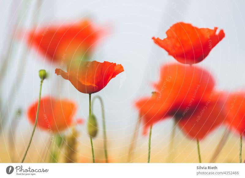 Rote Mohnblumen im Getreidefeld Mohnblüte Blume Sommer Natur Klatschmohn rot Feld roter mohn Idylle Landschaft Menschenleer Blüte intensiv Farbfoto