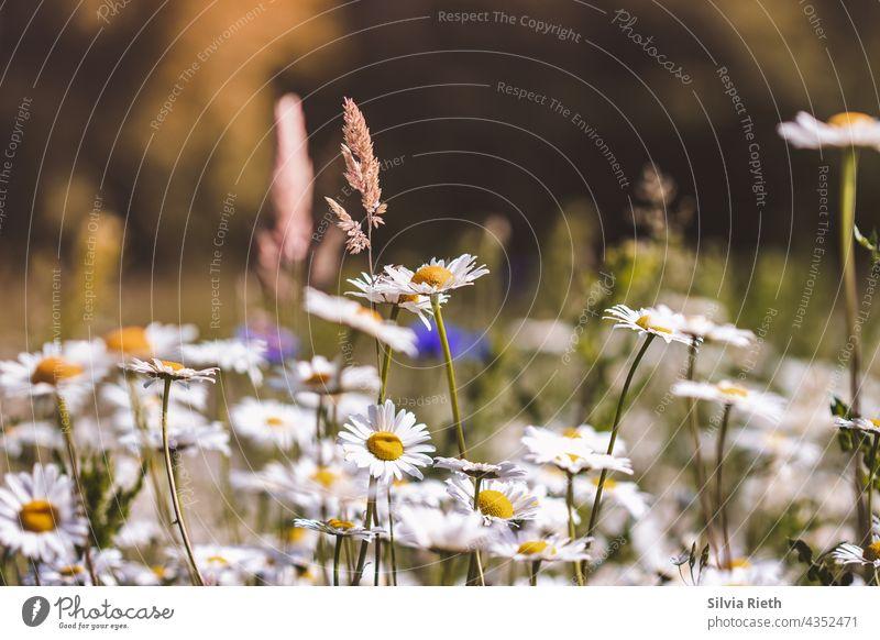 Sommerwiese mit Margariten, Gräsern und Kornblumen Menschenleer Margerite margariten Blume Blüte Natur Blühend schön Nahaufnahme Schwache Tiefenschärfe