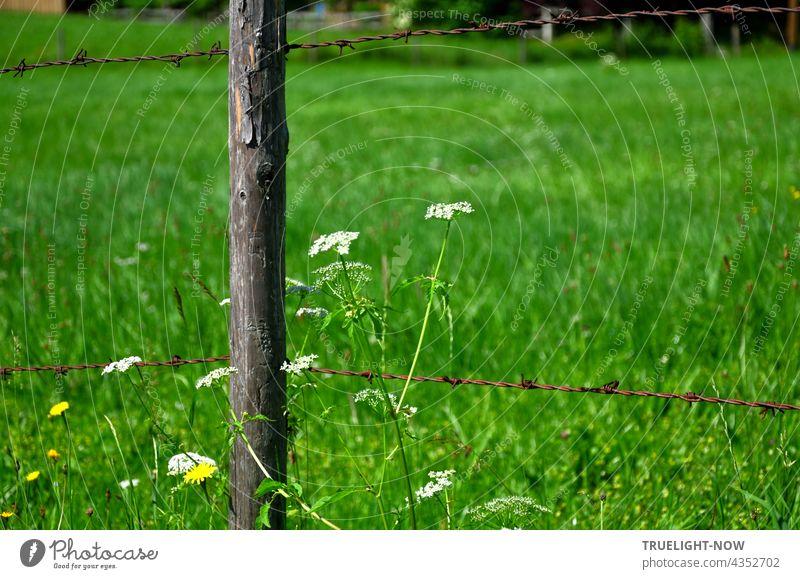 Weidezaun Idyll: Einige weisse und gelbe Wiesenblumen wachsen neben einem alten Zaunpfahl aus Holz, der in einer satt grünen oberbayerischen Wiese steht und oben und unten einem ebenso alten, rostigen Stacheldraht Halt gibt