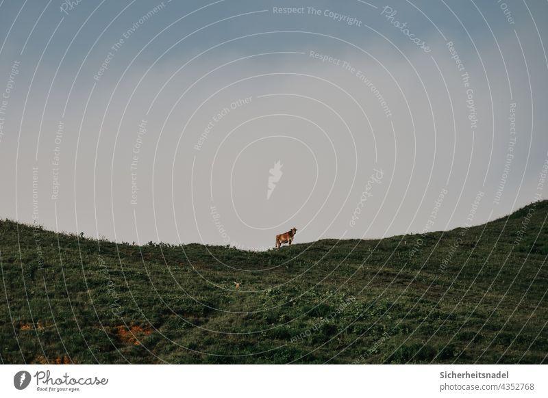 Kuh auf einem Berg Rind Weide Wiese Tier Außenaufnahme Landwirtschaft Nutztier Menschenleer Berge u. Gebirge Gras Sommer Himmel