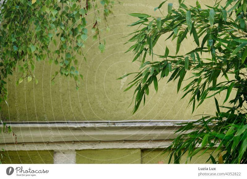 vielerlei Grün - Bambus und Birke treffen sich vor einer grünen Fassade, im Sonnenschein Sonnenlicht sonnig Sommer Hauswand alt altmodisch Stadt urban Gebäude