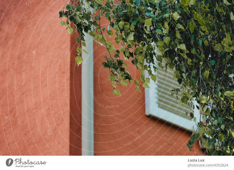 Vor dem Fenster das Laub einer Birke, frisches Sommergrün und Wind Fassade Terrakotta Fensterladen Birkenlaub windig Regenrinne orange hell sonnig Stadt urban