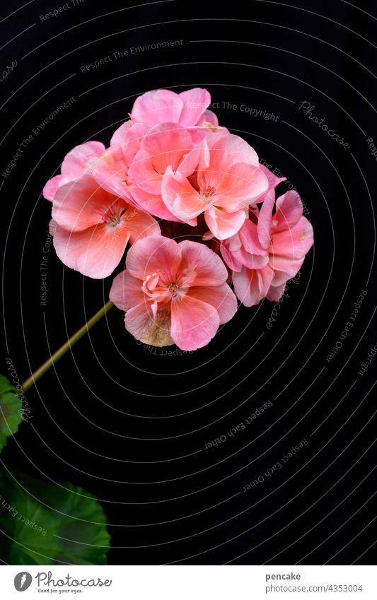 bloomig II Geranie Freisteller Blume Makroaufnahme Blüte Hintergrund neutral Nahaufnahme Garten pink lachsfarben Sommer Textfreiraum