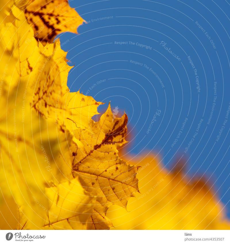 Goldener Herbst Blätter Herbstfärbung Herbstlaub herbstlich Natur Blatt gelb Menschenleer Vergänglichkeit Pflanze Wandel & Veränderung
