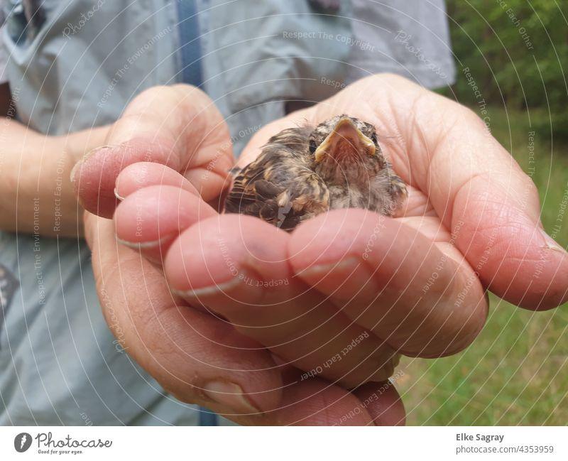 Gefundenen Ästling - Drossel in den sicheren Grünbereich gesetzt Vogel hand Außenaufnahme Feder Tierporträt Tiergesicht Schnabel Nahaufnahme Blick Natur Tag