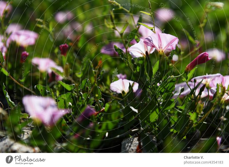 Trichterwinden Blumen Blütenkelch Pflanze Farbfoto Sommer Blühend Außenaufnahme Natur Wildpflanze Wildpflanzen Unschärfe Tageslicht blühende Blume natürlich