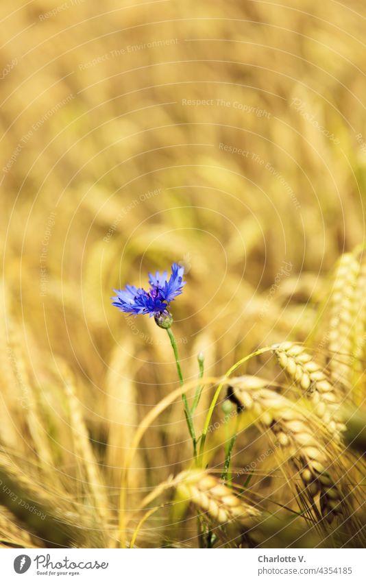 Kornblume im Gerstenfeld Wildblume Nutzpflanze Sommertag reif gelb blau violett Einzelne Blume Ähren zart Feld Natur Getreide Pflanze Kornfeld Außenaufnahme