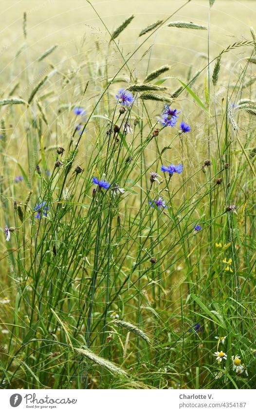 Kornblumen Blumen Blüte Pflanze Farbfoto Sommer Blühend Außenaufnahme Natur Wildpflanze Wildpflanzen Tageslicht blühende Blume natürlich natürliches Licht