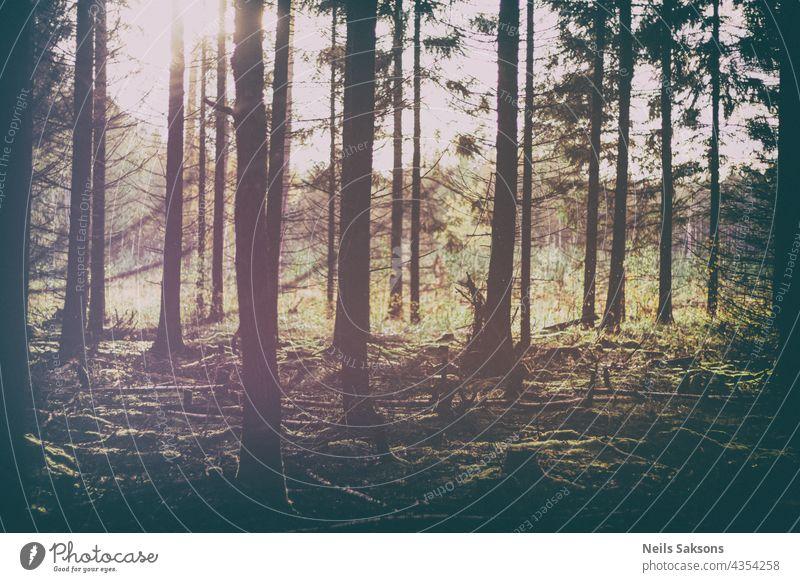 Vintage-Version eines Sonnenuntergangs im Frühherbst in einem Nadelwald in Lettland. Kiefer und Tanne Silhouetten gegen das grelle Sonnenlicht abstrakt Herbst