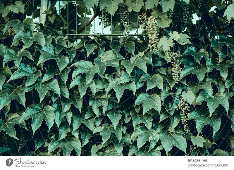 Gemeiner Efeu. Abstrakte grüne Blätter natürliche Wand. Grünpflanzenhintergrund. Heckenwand aus grünen Blättern. Grüne Pflanzentextur. abstrakt hintergründe