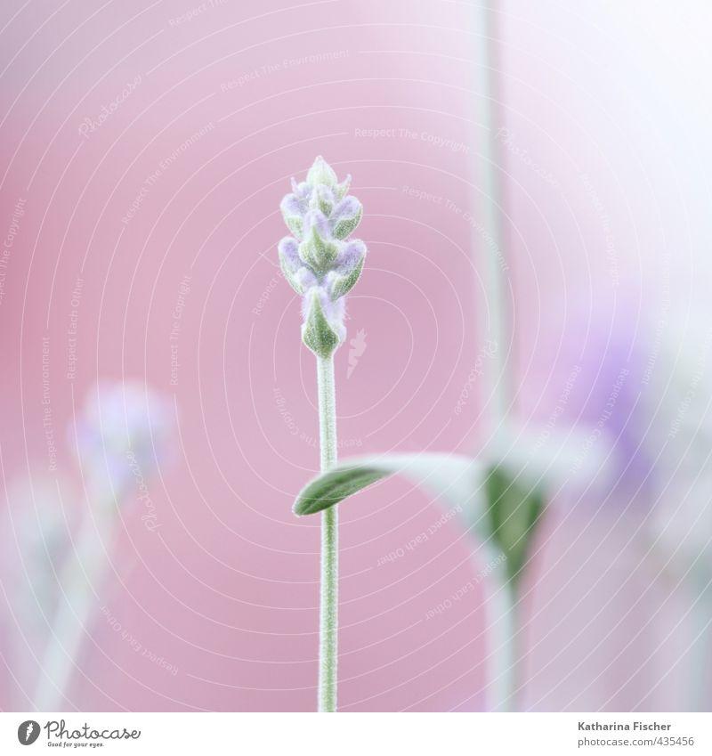 Lavendel zur rosa Stunde Natur blau grün weiß Pflanze Blatt Wiese Garten braun rosa Wachstum Blühend violett Nutzpflanze Lavendel Wildpflanze